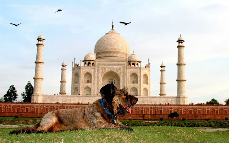 世上最幸福的小狗不幸车祸身亡 生前曾环游世界